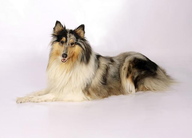 Der Collie – eine der berühmtesten Hunderassen