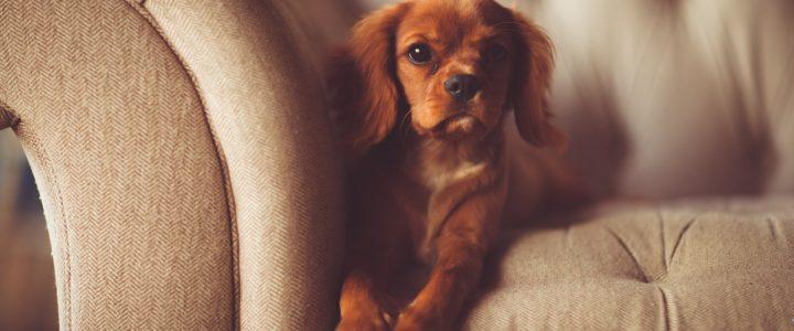 Haustiere und Möbel