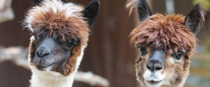 Alpakas – kleine Kamele aus Südamerika