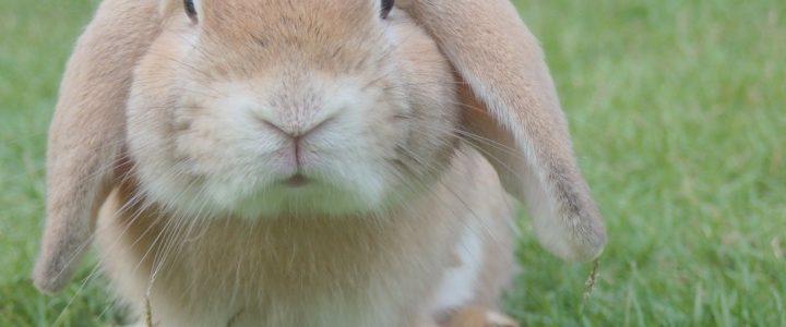Kaninchen Krankenversicherung – warum lohnt sich diese Versicherung?