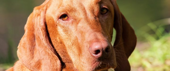 Magyar Vizsla Welpen – eine besondere Hunderasse